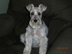 Maya, chien Schnauzer