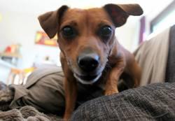 Maya, chien Pinscher
