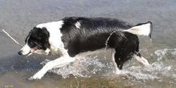 Maya, chien Border Collie