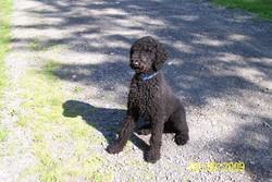 Maya, chien Caniche