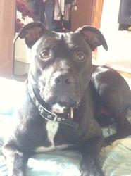 Maya, chien Staffordshire Bull Terrier