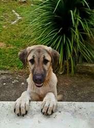Maya, chien Berger d'Anatolie
