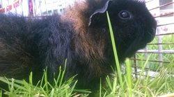Maya, rongeur Cochon d'Inde