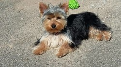 Maya, chiot Yorkshire Terrier