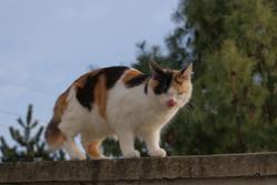 Maya, chat Européen