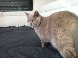 Maya, chat British Shorthair