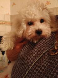 Maya, chien Bichon à poil frisé