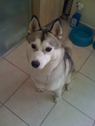 Maya Alias Kanini, chien Husky sibérien