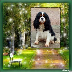 Maya De La Cité D'Hinka, chien Cavalier King Charles Spaniel