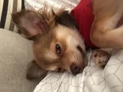 Mayah, chien Chihuahua