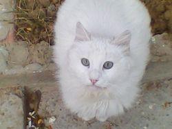Mayar, chat Angora turc