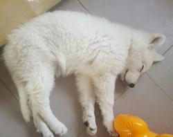 Mayka, chien Berger blanc suisse
