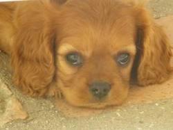 Mayo, chien Cavalier King Charles Spaniel