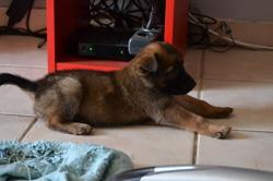 Mayra, chien Berger belge