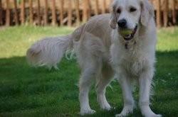 Mayuko, chien Golden Retriever