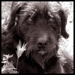 Mazarin, chien