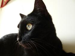 Mazout, chat Européen