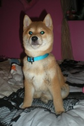Mcfly, chien Shiba Inu