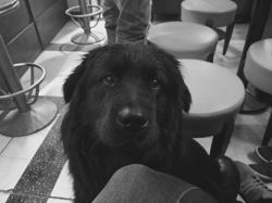 Meastro, chien Golden Retriever