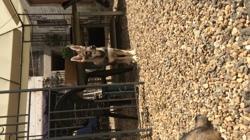 Medjai, chien Chien-loup tchèque