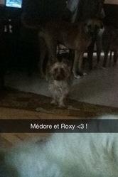 Médore, chien Yorkshire Terrier