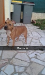 Mee-Na, chien American Staffordshire Terrier