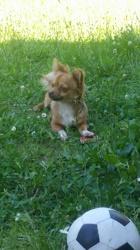 Meeko, chien Chihuahua