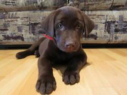 Meeko, chien Labrador Retriever