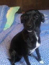 Meffy, chien Pinscher