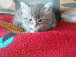 Mefi, chat Européen