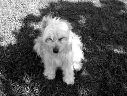 Meggy, chien Berger des Pyrénées