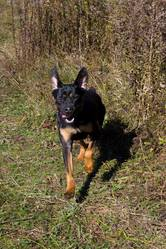 Méggie, chien Rottweiler