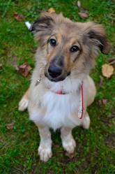 Meika, chien Colley à poil long