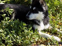 Meiko, chien Chien du Groenland