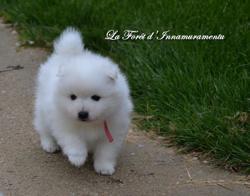 Meiko, chien Spitz japonais