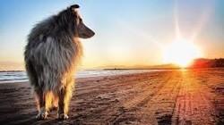 Meiko, chien Colley à poil long