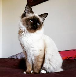 Meiko, chat Birman