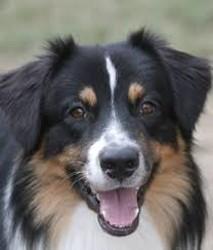 Meiko, chien Berger australien