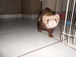 Meiko, rongeur Furet