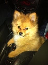 Meiko, chien Spitz allemand