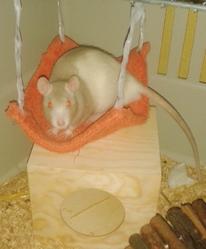Meiko, rongeur Rat