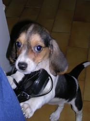 Mel, chien Beagle