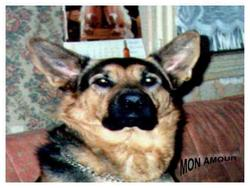 Mel'Brooky, chien Berger allemand