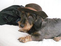 Mela, chien Teckel