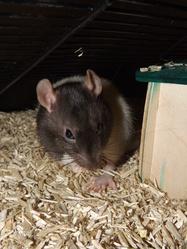Mélanos, rongeur Rat
