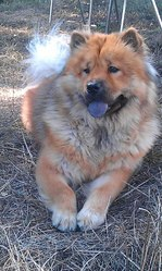 Melba, chien Chow-Chow