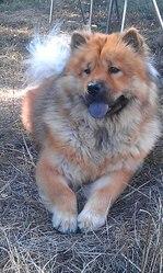 Melba, chien Chow-Chow
