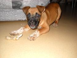 Melba, chien Boxer