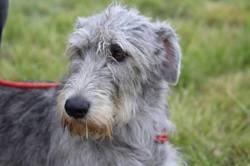 Melba Du Second Souffle, chien Lévrier irlandais