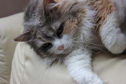 Melga, chat Angora turc